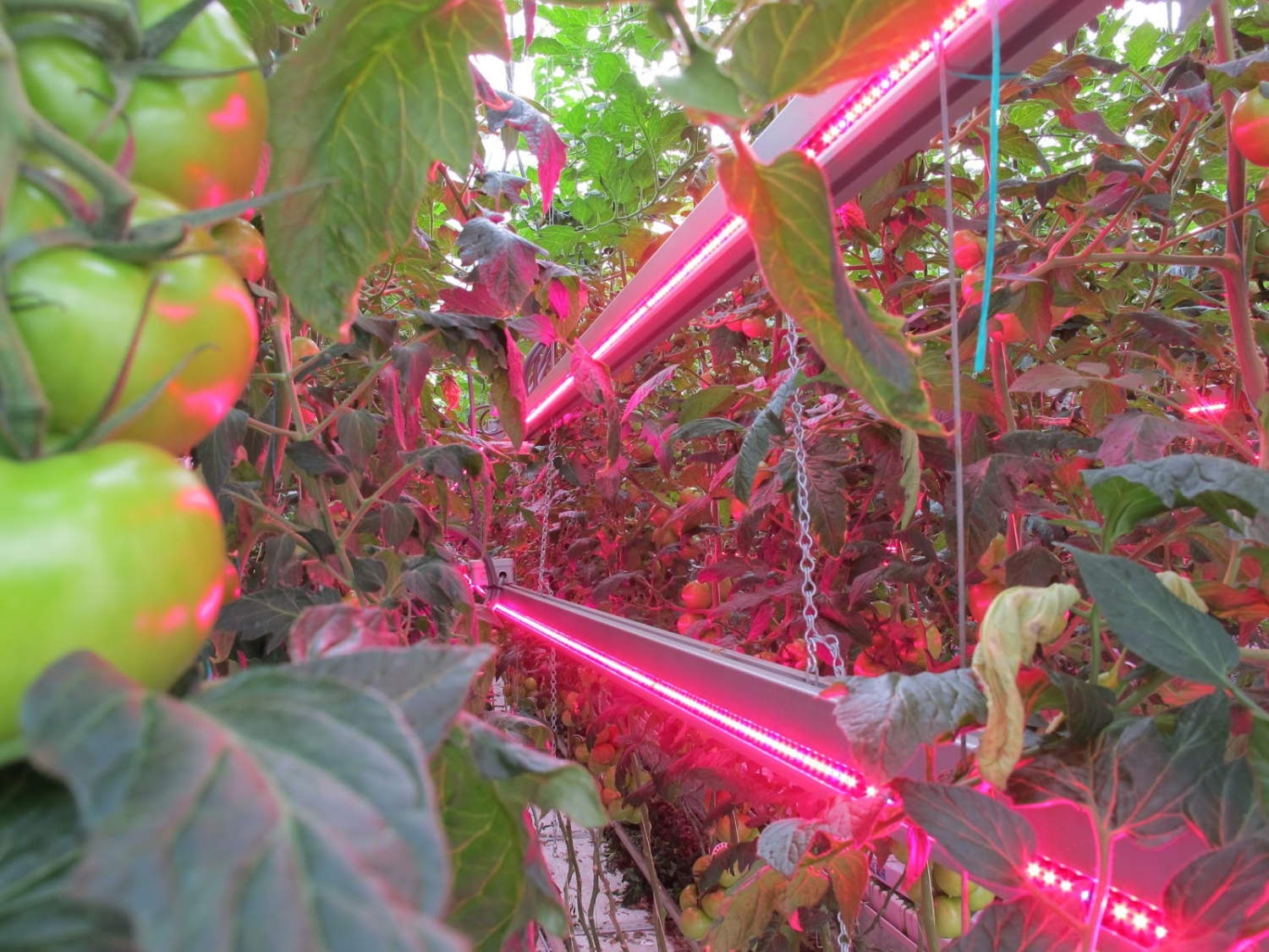 LED lights in commercial greenhouse