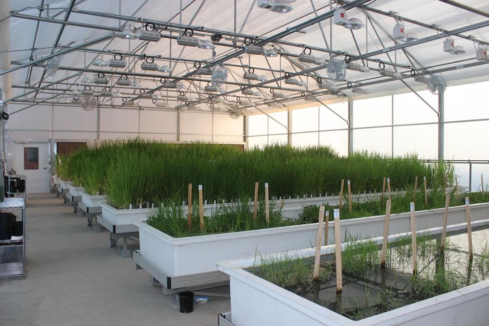 Research greenhouse | Lundberg Farms