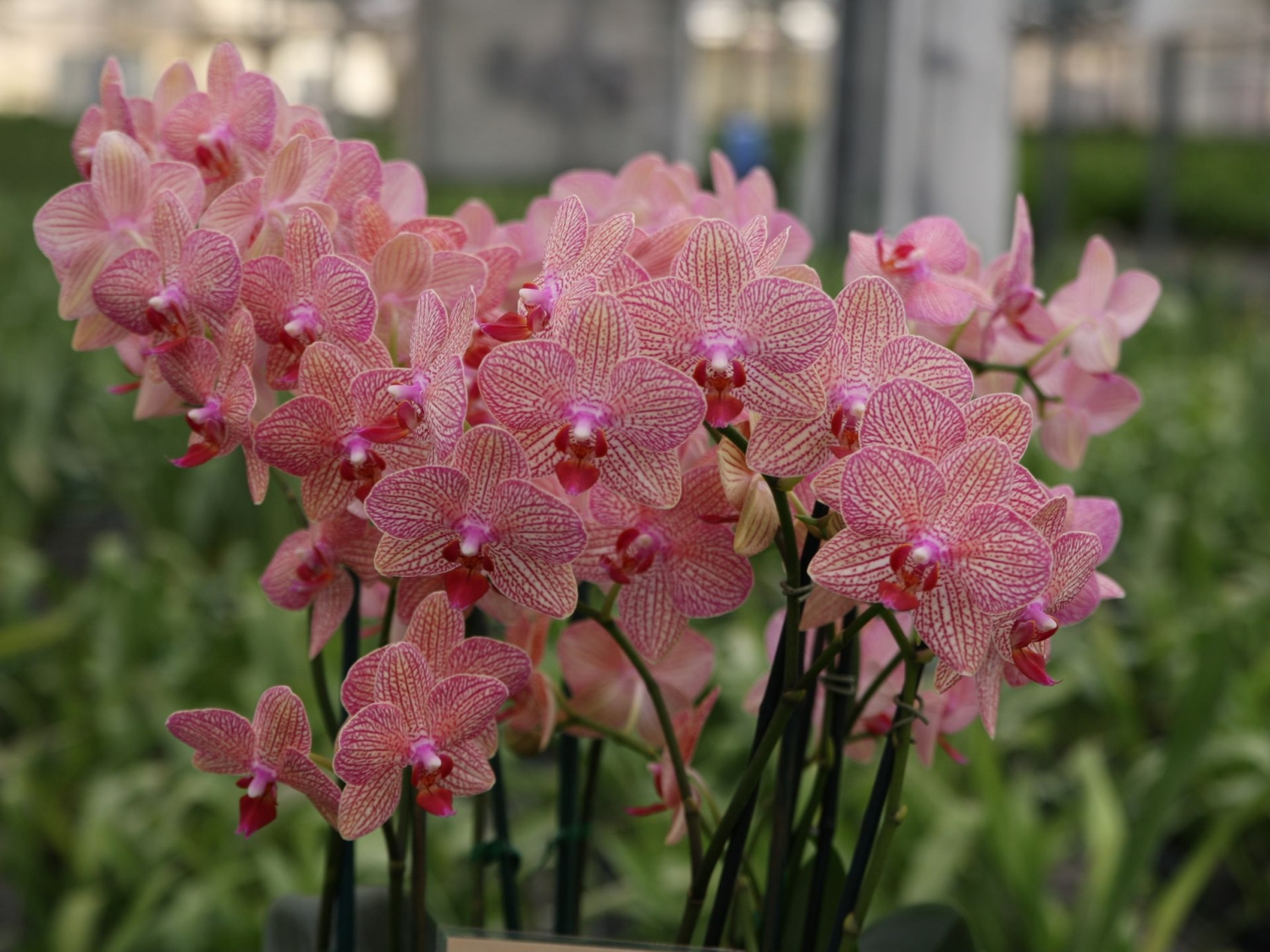 McLellan/Tiasuco America grows incredible orchids