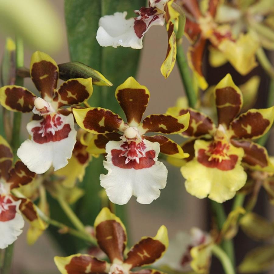 Oncidium orchids | McLellan/Tiasuco America