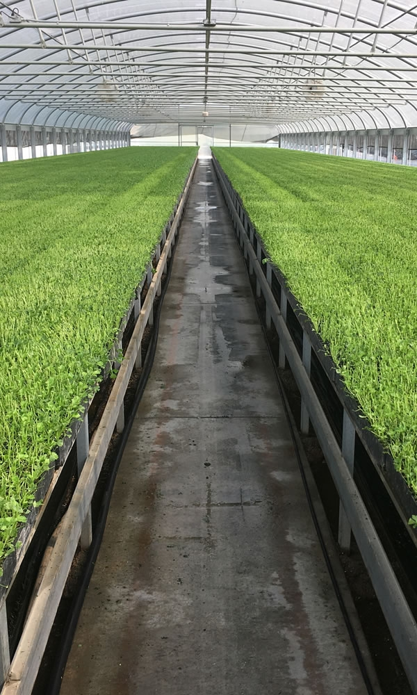 Transplant Greenhouse Growing   Vegetable Production   Vegetable Greenhouse Systems