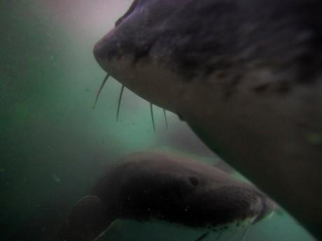 Underwater view of white sturgeon swimming in large tanks.