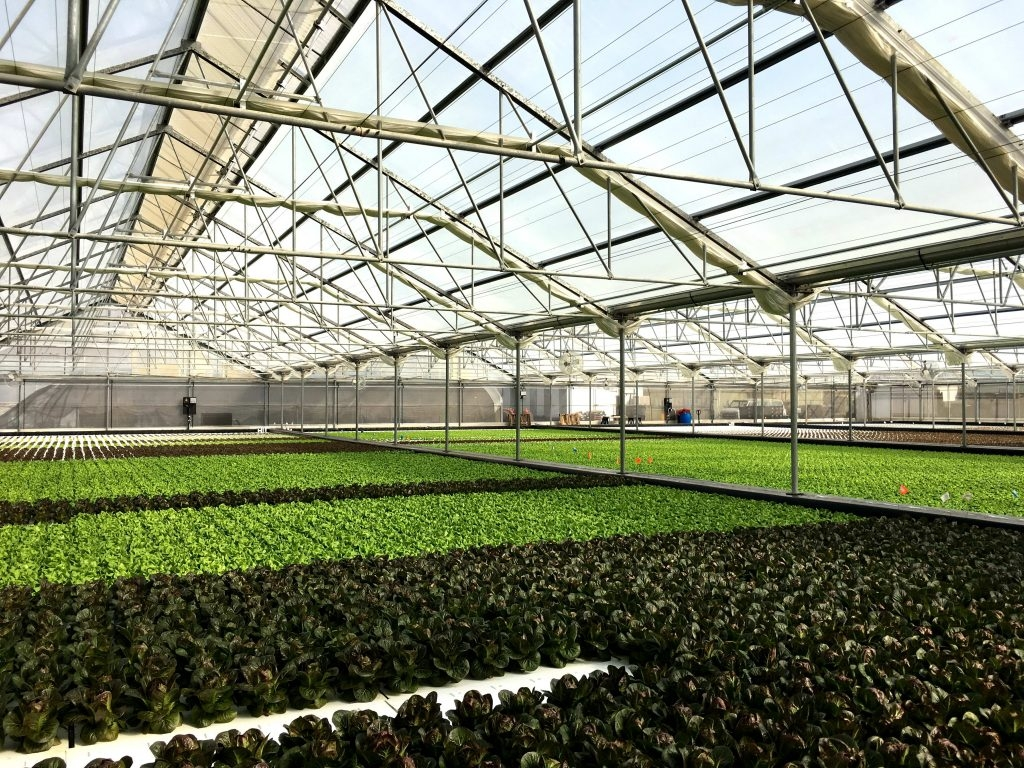 Deep Water Culture: Lettuce being grown in AgraTech Solar Light greenhouse | Suncrest USA