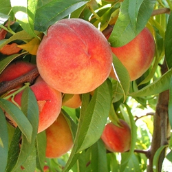 Burchell Peaches | Burchell Nursery