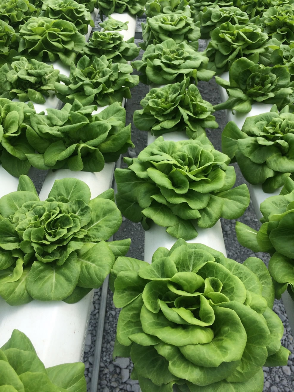 Lettuce ready to pick | Commercial Greenhouse Manufacturer