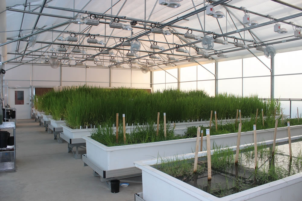 Research greenhouse | Lundberg Farms