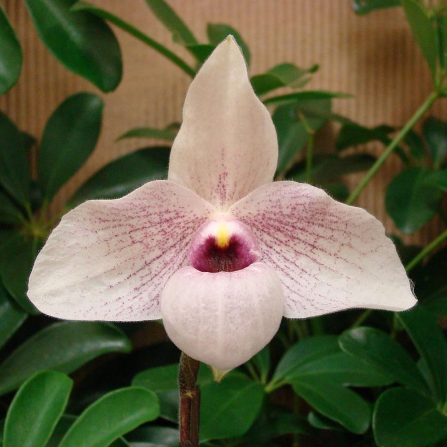 Paphiopedilum orchids | McLellan/Tiasuco America