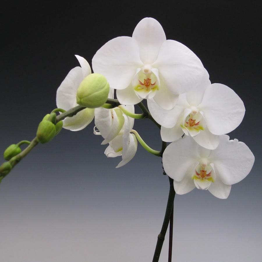 Phalaenopsis orchids | McLellan/Tiasuco America