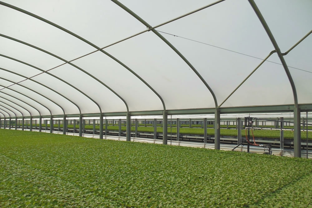 Transplants in Agra Tech Thermolator 35 greenhouse with drop wall and benches