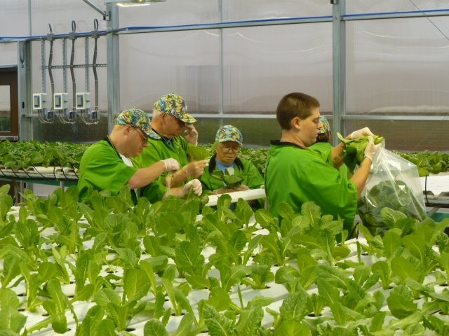 Hydroponic Lettuce | Commercial Greenhouse Manufacturer